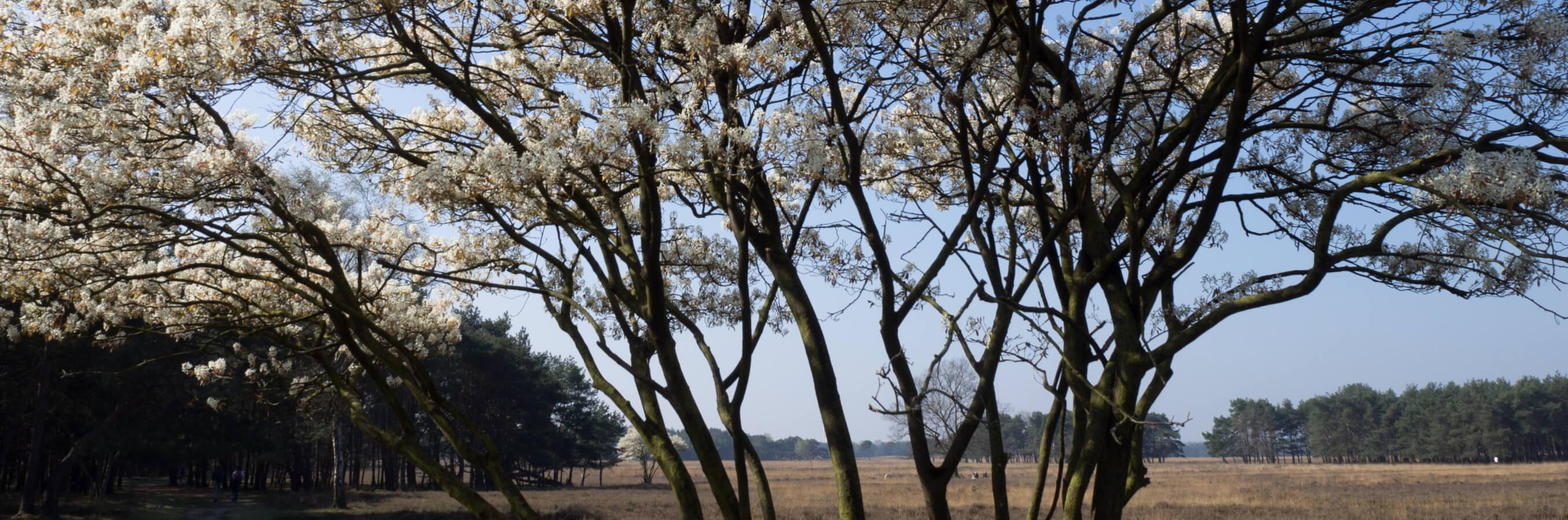 Heide Bussum krentenboom in bloei nabij locatie mindfulnesstraining
